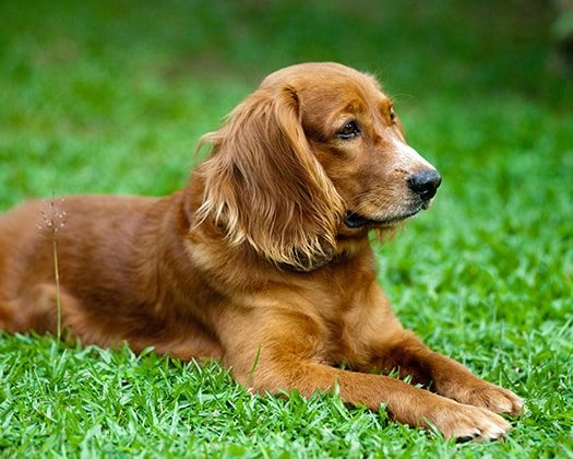 Brauner Cocker Spaniel